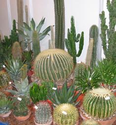 Cactus Various