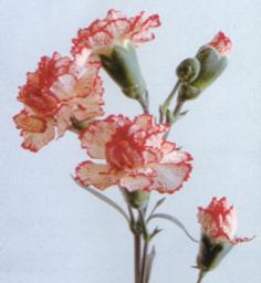 Carnation 4258