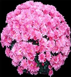 Chrysanthemum Kaleido Pink