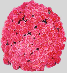Chrysanthemum Kaleido Red