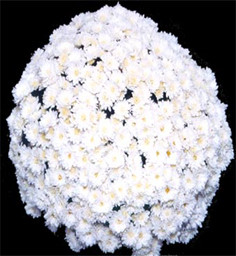 Chrysanthemum Kaleido White