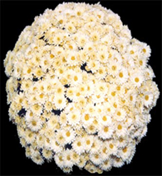Chrysanthemum Kaleido Yellow