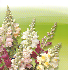 Cut flowers Antirrhinum Majus F1 Leeuwenbek