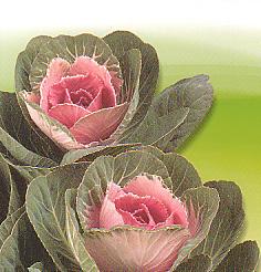 Cut flowers Brassica Oleracea Sierkool