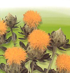 Cut flowers Carthamus Tinctorius Saffloerplant