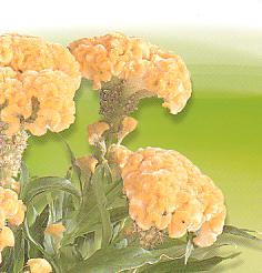 Cut flowers Celosia Argentea