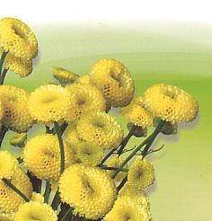 Cut flowers Tanacetum Parthenium Matricaria