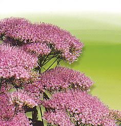 Cut flowers Trachelium Caeruleum