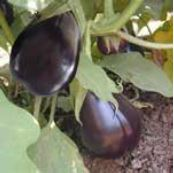 Eggplant Marian
