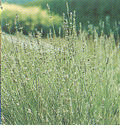 Herbs and Grasses Lavendel Spica