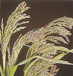 Herbs and Grasses Panicum Violaceum
