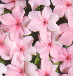 Pot and Bedding Plants Impatiens F1 Tempo Pink