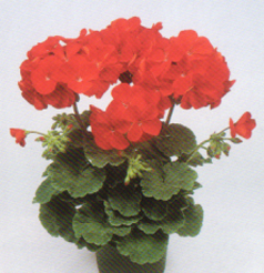 Pot and Bedding Plants Pelargonium F1 Vogue Deep Red