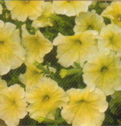 Pot and Bedding Plants Petunia Grandiflora F1 Prelude Prism-Sunshine