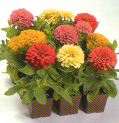 Pot and Bedding Plants Zinnia F1 Caramba Formulemengsel