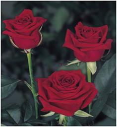 Roses 4U