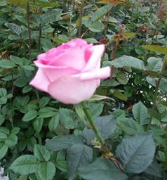 Roses Bella Vita