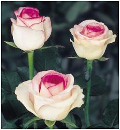 Roses Dolce Vita