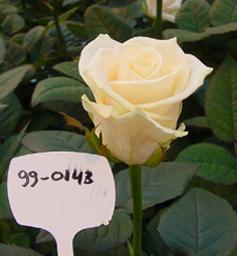 Roses Emanuelle