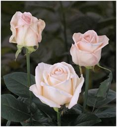 Roses Maureen