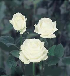Roses Nova Zembla