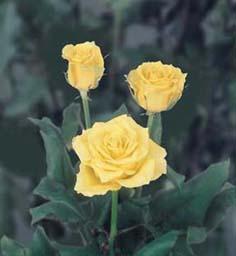 Roses Tweety
