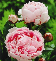 Shrubs for Cutting Paeonia Sarah Bernhardt