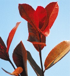 Shrubs for Cutting Photinia Fr. Red Robin
