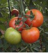 Tomato Beef Radiant