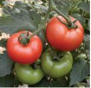 Tomato Beef Radius