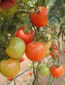 Tomato Greenhouse Morris
