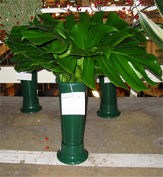 Tropical Plants and Palms Philodendron